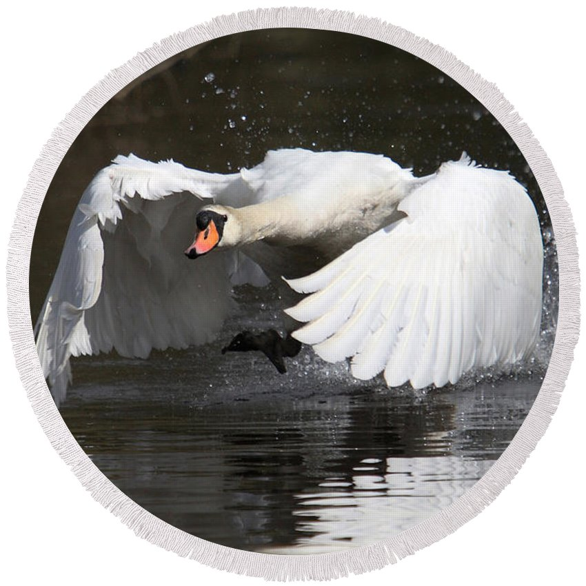 Swan Round Beach Towel featuring the photograph Take Off by Mark Heywood