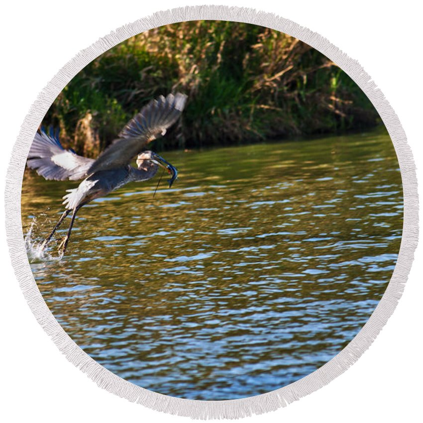 Great Blue Heron Round Beach Towel featuring the photograph Take Out by Edward Peterson