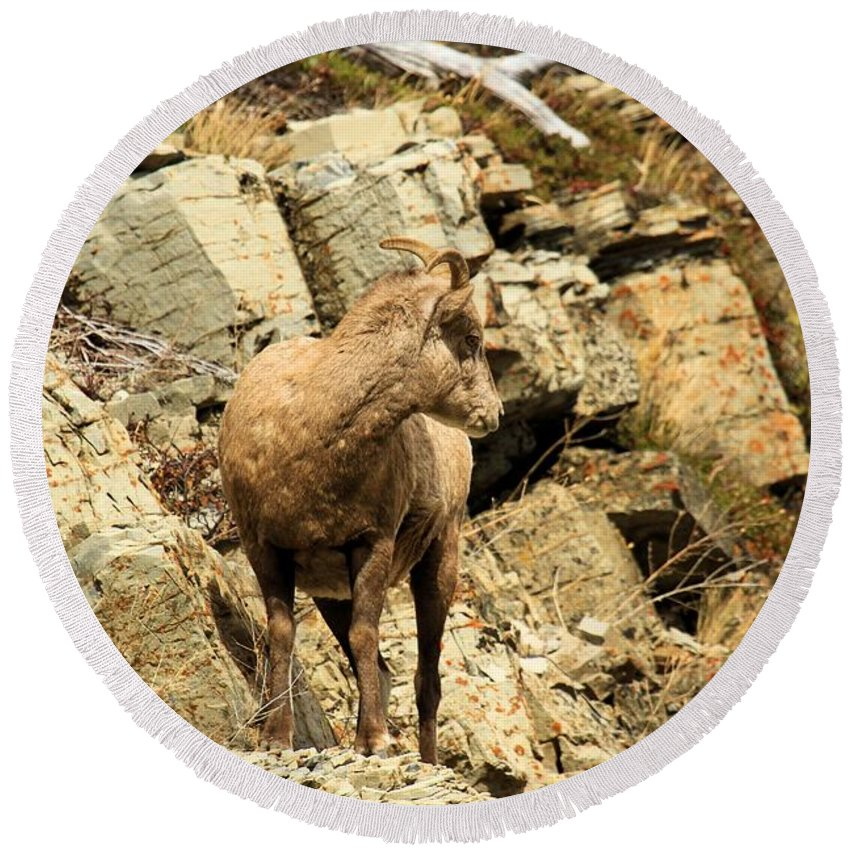 Big Horn Sheep Round Beach Towel featuring the photograph The Lookout by Adam Jewell
