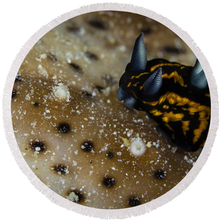 Dorid Nudibranch Round Beach Towel featuring the photograph Tiny Nudibranch On Sea Cucumber by Todd Winner