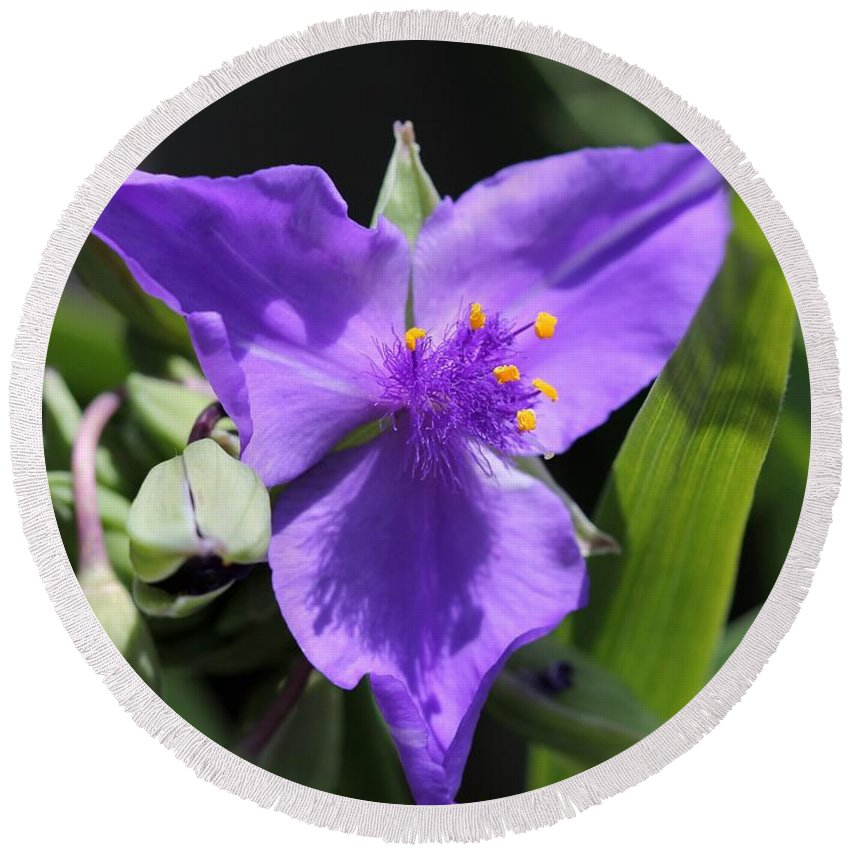 Tradescantia Round Beach Towel featuring the photograph Tradescantia Named Andersonia Mauve by J McCombie