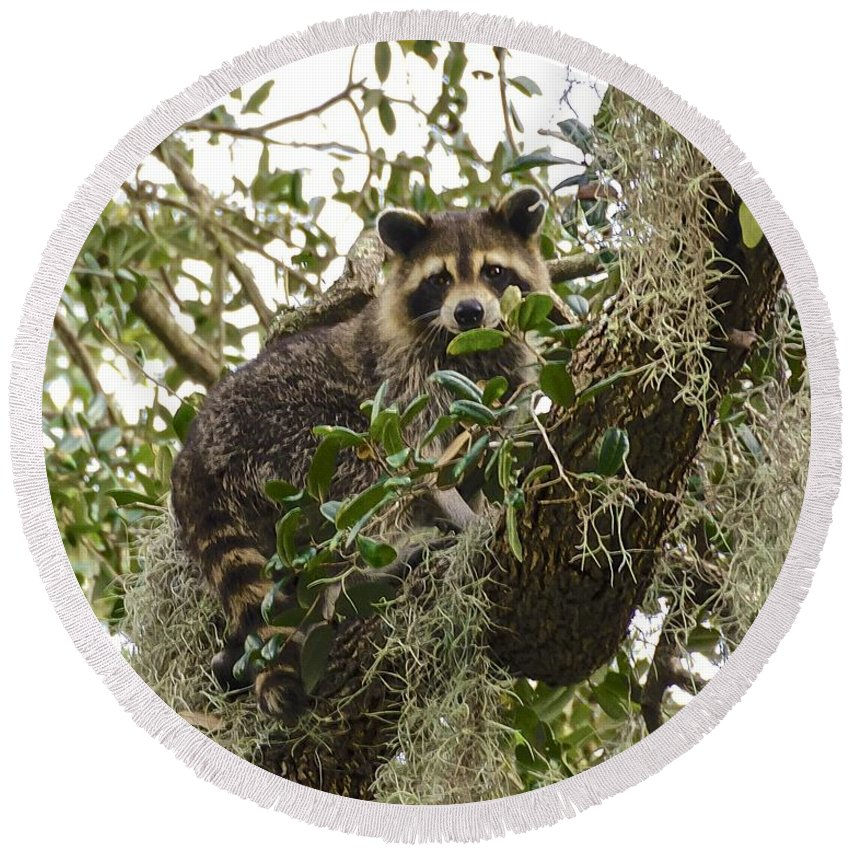 Raccoon Round Beach Towel featuring the photograph Treed by Carol Bradley