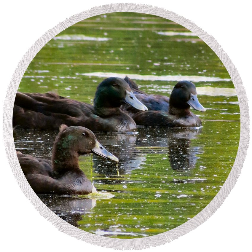Duck Round Beach Towel featuring the photograph Trio by Art Dingo