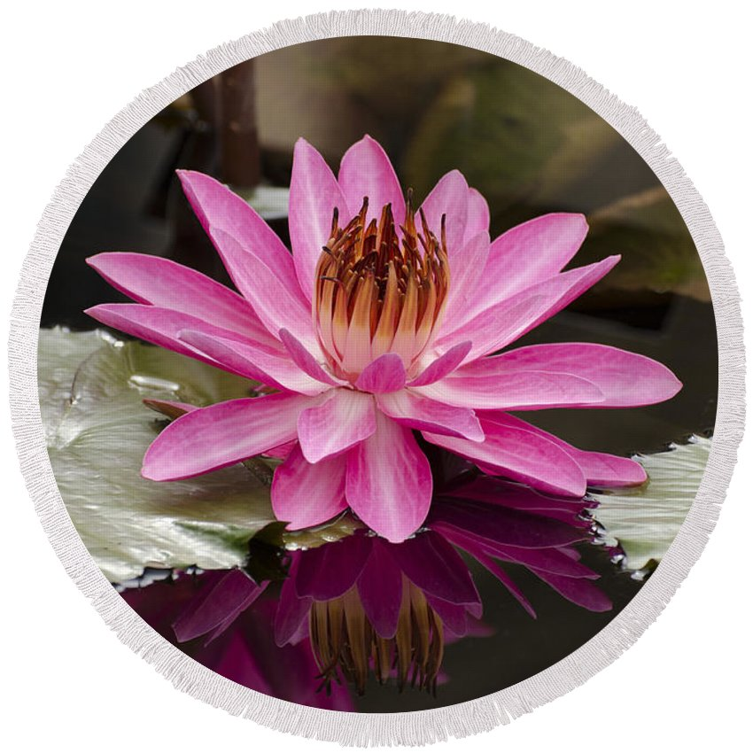 Pink Night Blooming Water Lily Round Beach Towel featuring the photograph Tropical Night Flowering Water Lily Rose De Noche IIi by Terri Winkler