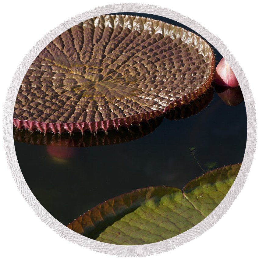 Victoria Round Beach Towel featuring the photograph Victoria Amazonica Leaves by Heiko Koehrer-Wagner