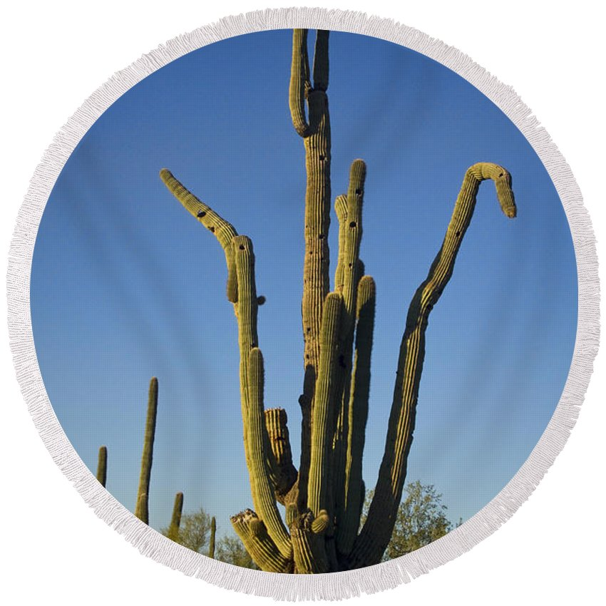 Weird Round Beach Towel featuring the photograph Weird Giant Saguaro Cactus With Blue Sky by James BO Insogna