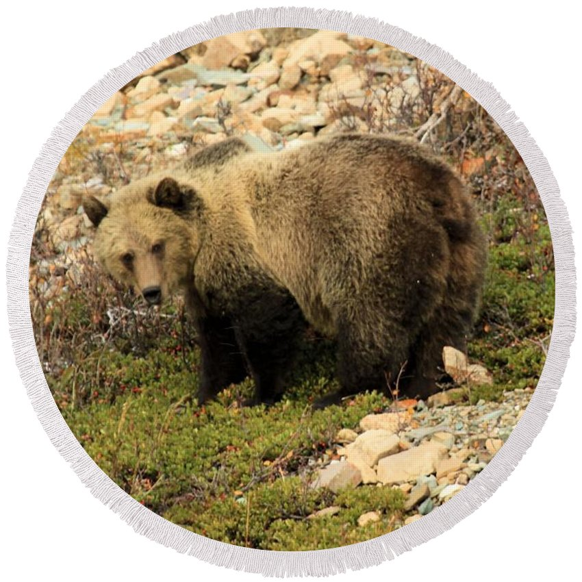 Grizzly Bear Round Beach Towel featuring the photograph What's That I Smell? by Adam Jewell