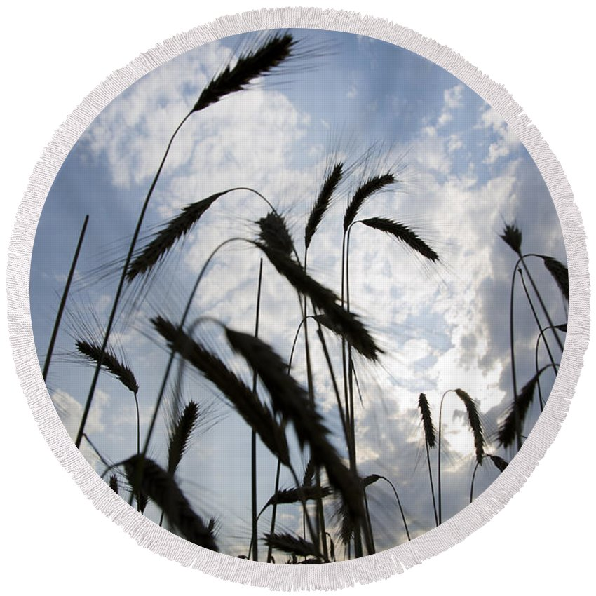White Round Beach Towel featuring the photograph Wheat With Blue Sky by Mats Silvan