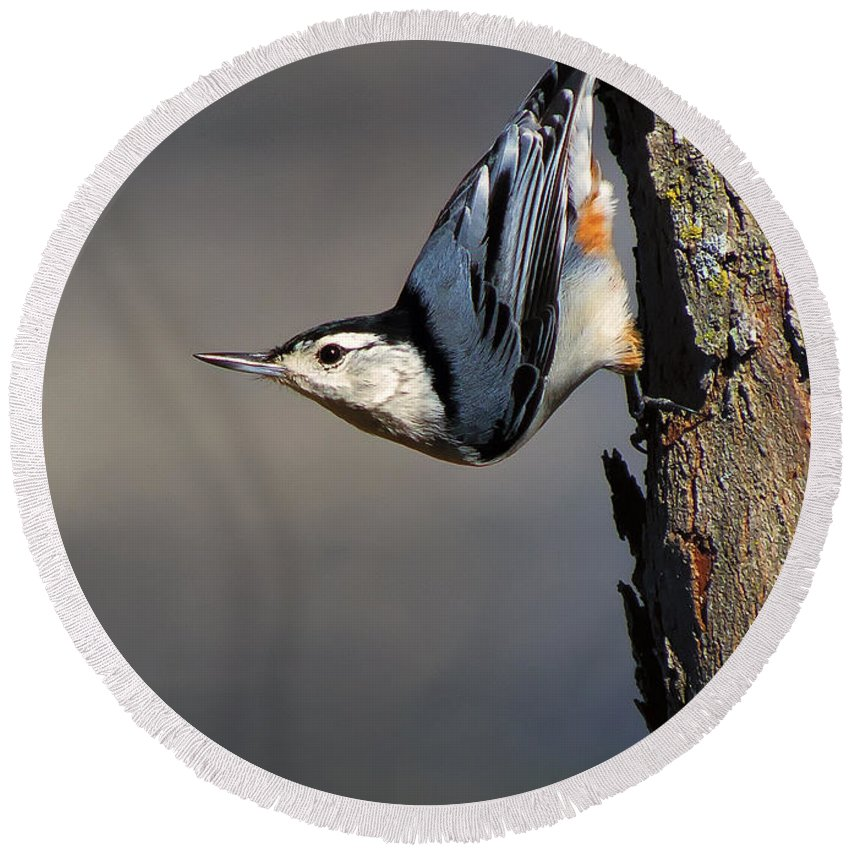 Bird Round Beach Towel featuring the photograph White-breasted Nuthatch by Bill Tiepelman