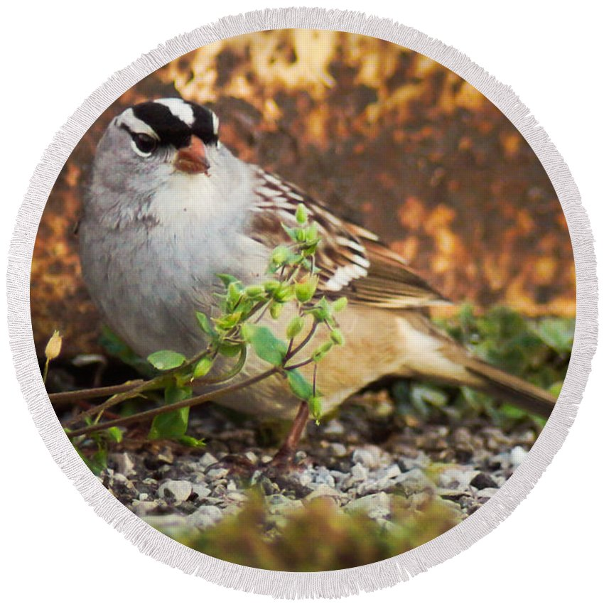 Bird Round Beach Towel featuring the photograph White Crowned Sparrow by Bill Pevlor