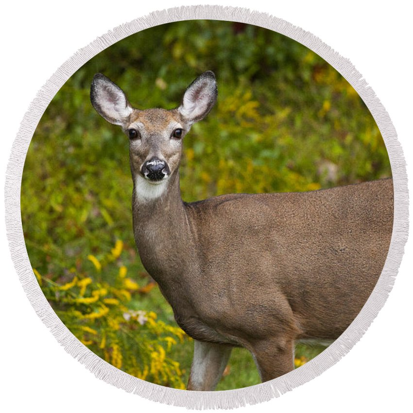 Deer Round Beach Towel featuring the photograph White Tail Early Autumn by Karol Livote