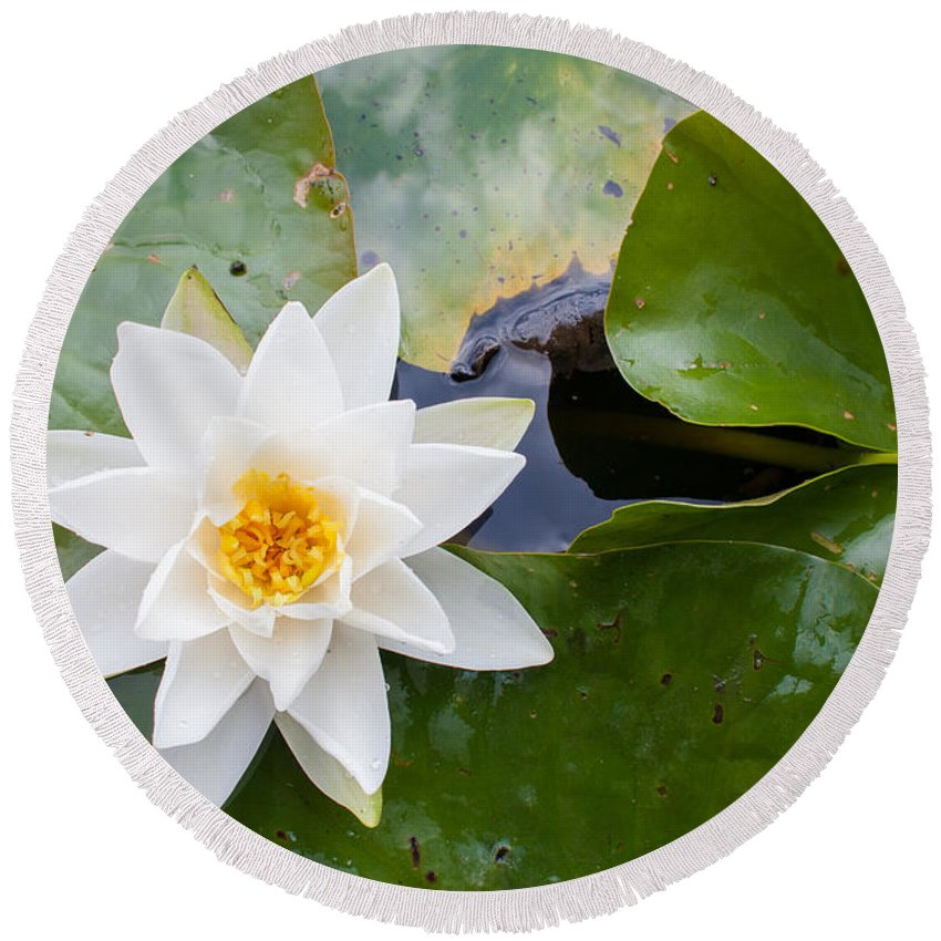 Asian Round Beach Towel featuring the photograph White Water Lily by Semmick Photo