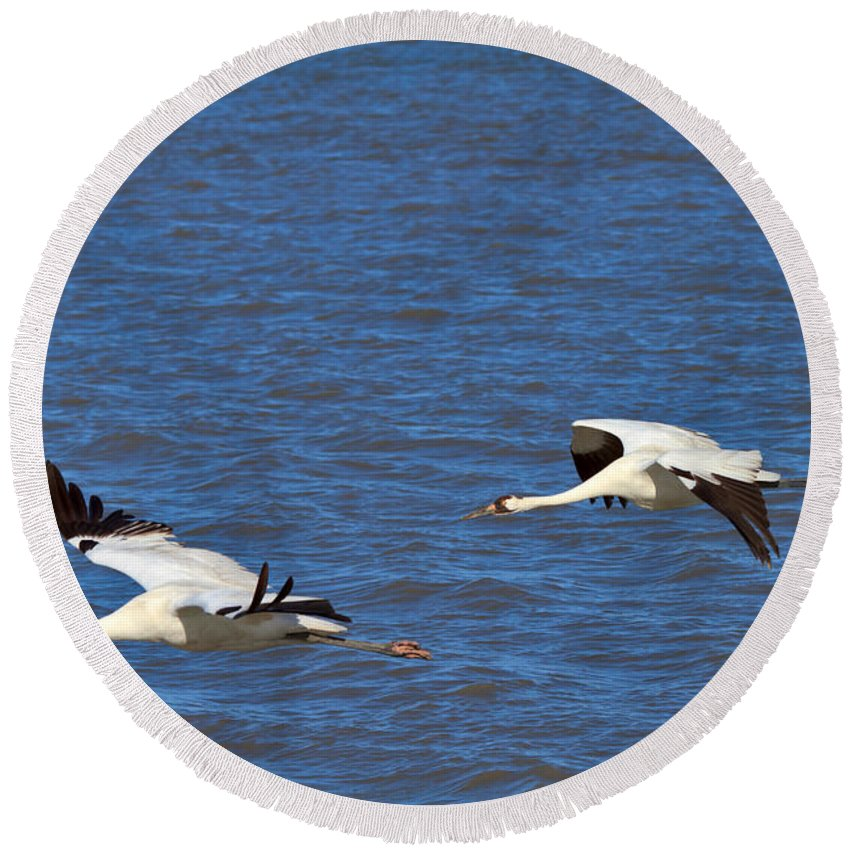 Whooping Crane Round Beach Towel featuring the photograph Whooping Cranes by Louise Heusinkveld