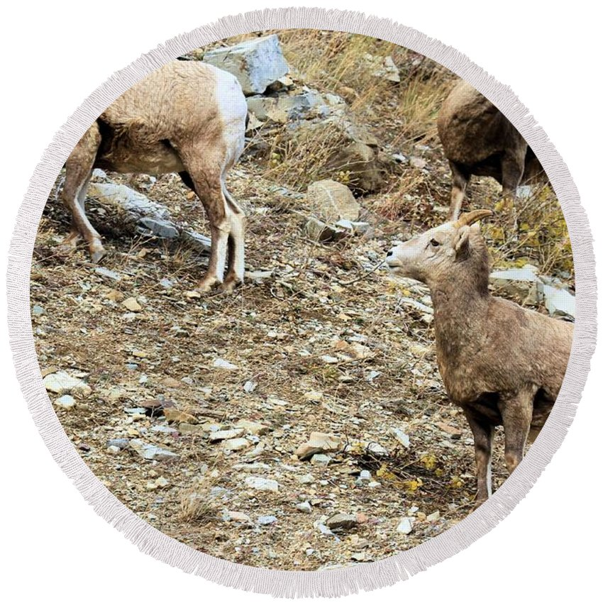 Big Horn Sheep Round Beach Towel featuring the photograph Who's On First? by Adam Jewell