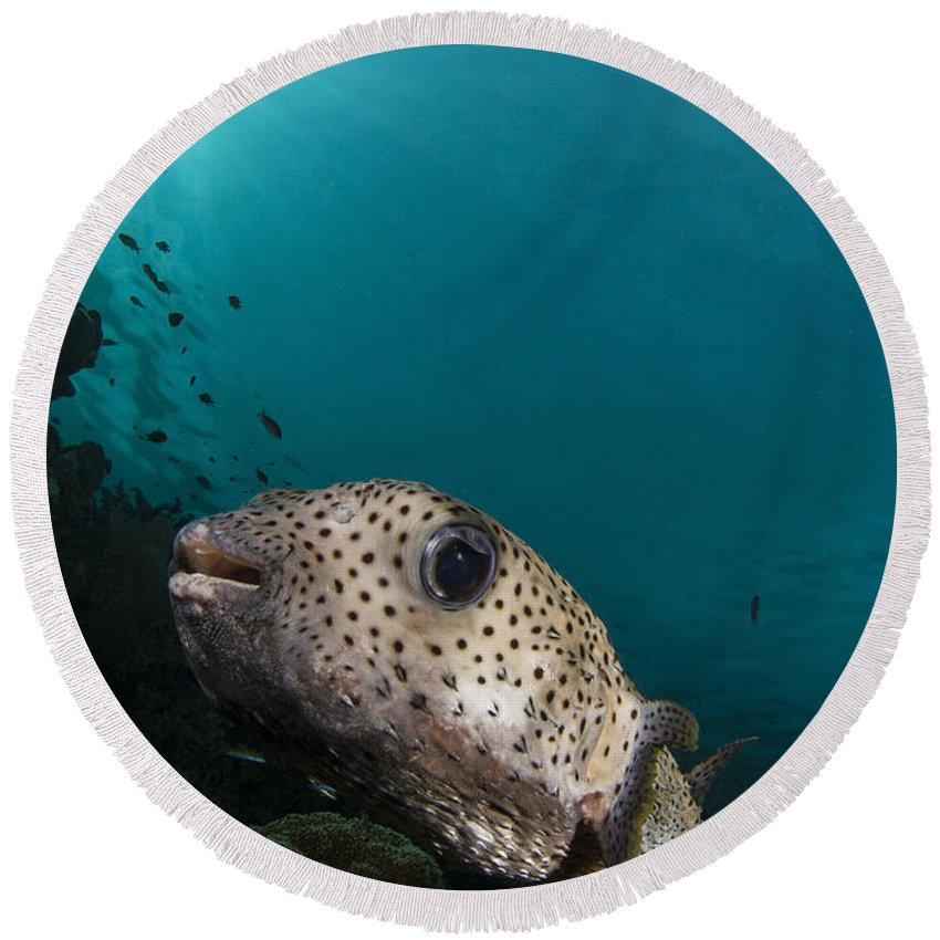 Osteichthyes Round Beach Towel featuring the photograph Wide-angle Image Of Pufferfish, Raja by Todd Winner