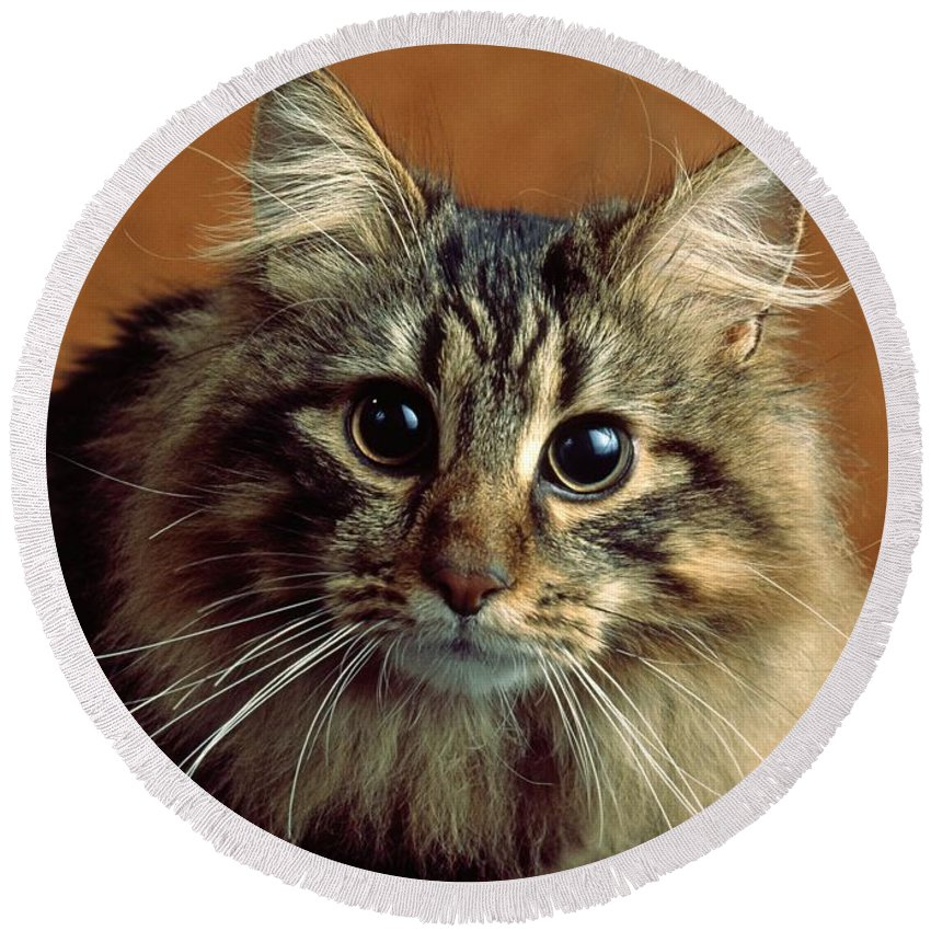 Maine Coon Cat Round Beach Towel featuring the photograph Wide-eyed Maine Coon Cat by Larry Allan