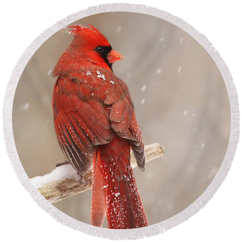 Northern Round Beach Towel featuring the photograph Winter Cardinal by Mircea Costina Photography