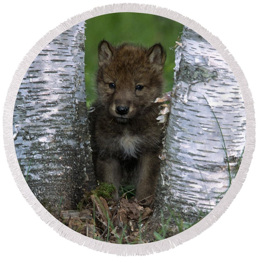 Wolves Round Beach Towel featuring the photograph Wolf Pup Playing Peekaboo by Sandra Bronstein
