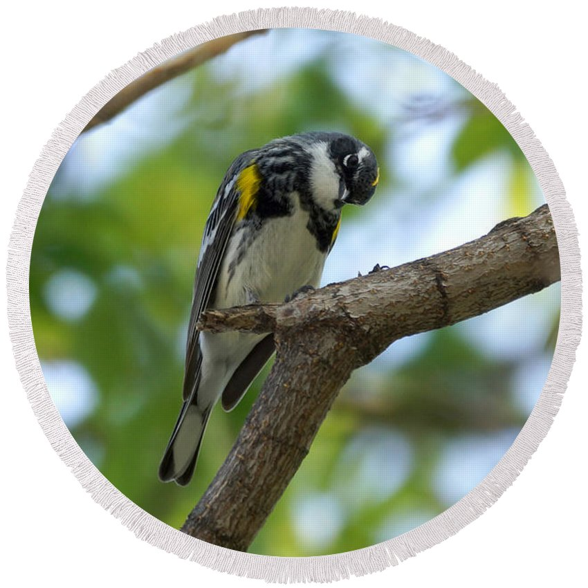 Warbler Round Beach Towel featuring the photograph Yellow Rumped Warbler Looking Down by Lori Tordsen