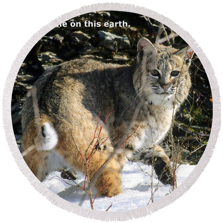 Bobcat Round Beach Towel featuring the photograph You Are Not Alone by Larry Allan