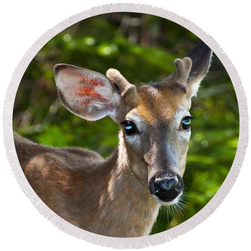 Deer Round Beach Towel featuring the photograph Young Buck 2 by Glenn Gordon