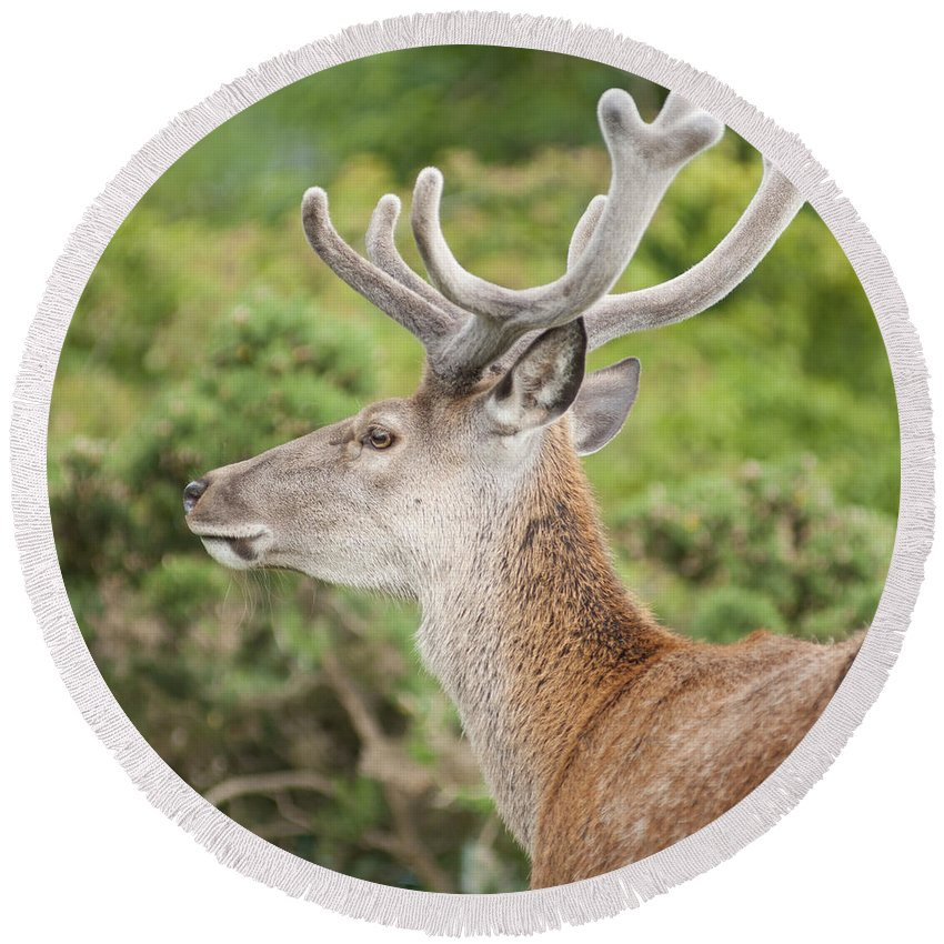 2011 Round Beach Towel featuring the photograph Young Red Deer by Andrew Michael