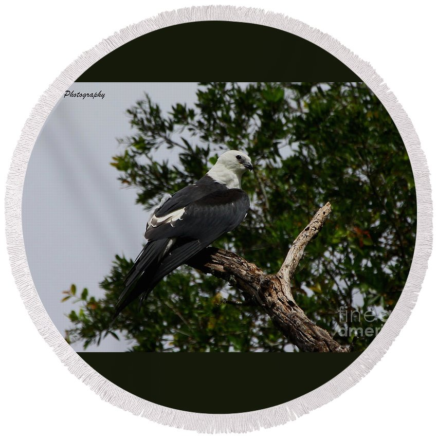 Swallow-tailed Kite Round Beach Towel featuring the photograph Young Swallow-tailed Kite by Barbara Bowen