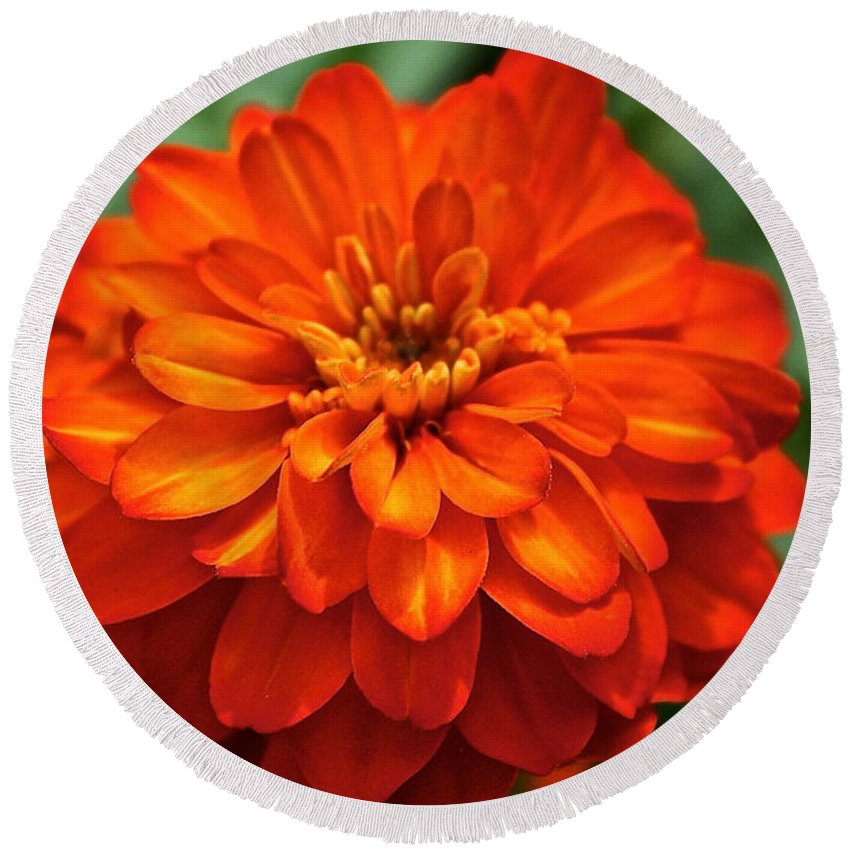 Plant Round Beach Towel featuring the photograph Zinnia Flare by Susan Herber