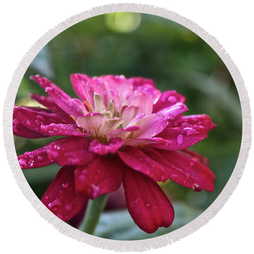 Flower Round Beach Towel featuring the photograph Zinnia Quenched by Susan Herber