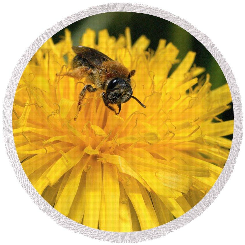 Lehtokukka Round Beach Towel featuring the photograph A Bee In A Dandelion by Jouko Lehto