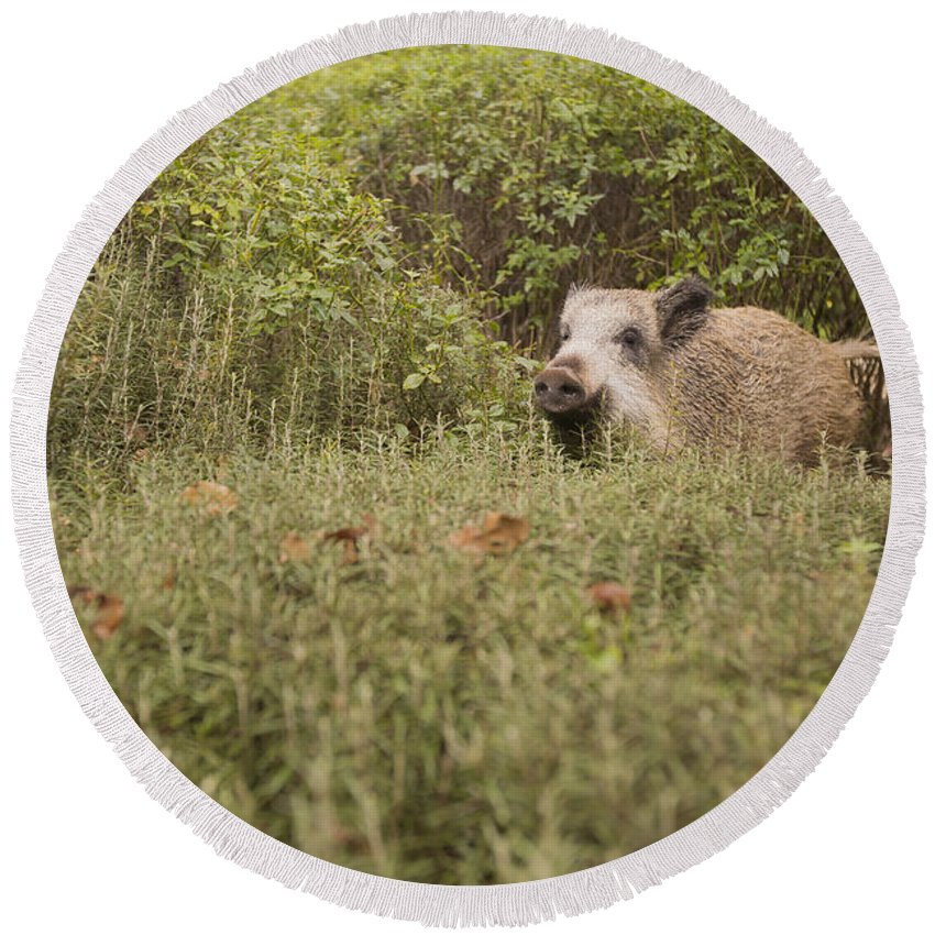 Wild Round Beach Towel featuring the photograph Wild Boar Sus Scrofa by Alon Meir