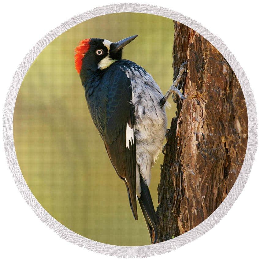 Birds Round Beach Towel featuring the photograph Acorn Woodpecker by Doug Herr