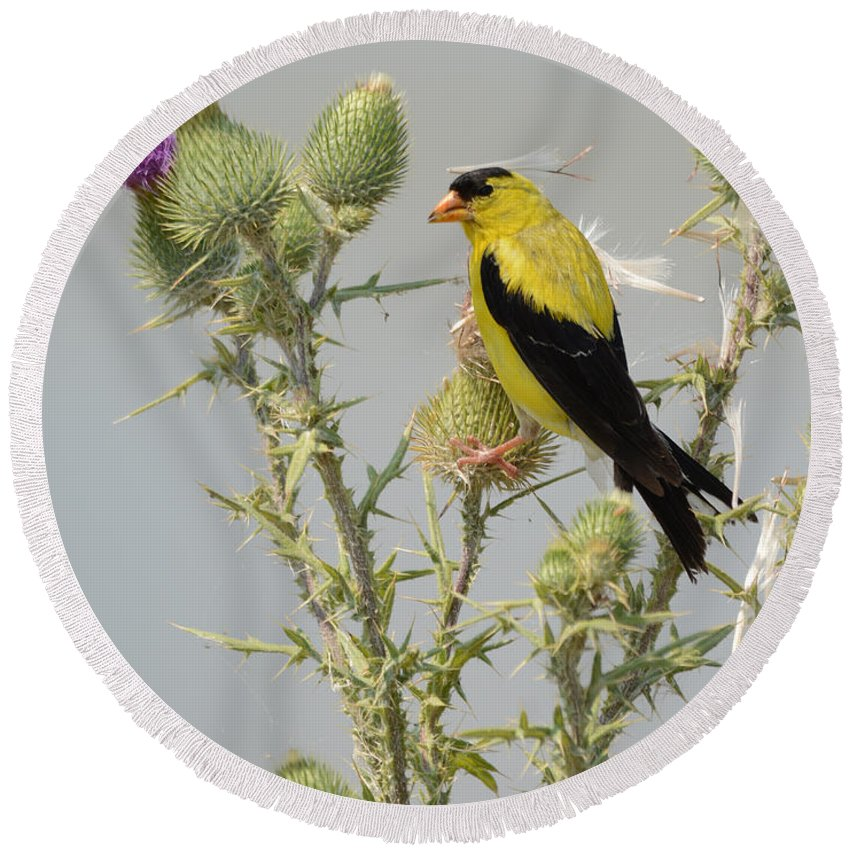 Goldfinch Round Beach Towel featuring the photograph American Goldfinch by Charles Owens