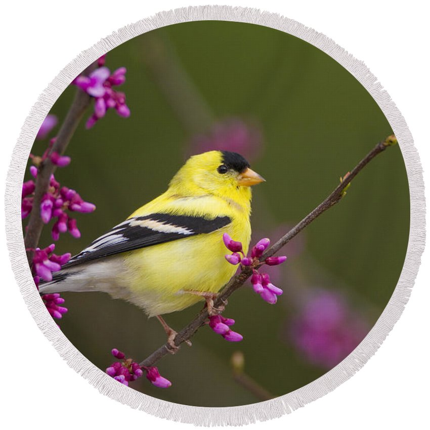 American Goldfinch Round Beach Towel featuring the photograph American Goldfinch In Redbud by Marie Read