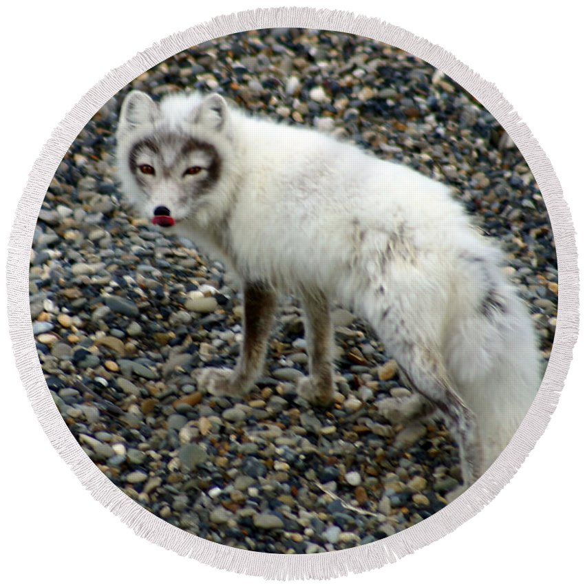 Arctic Fox Round Beach Towel featuring the photograph Arctic Fox by Anthony Jones