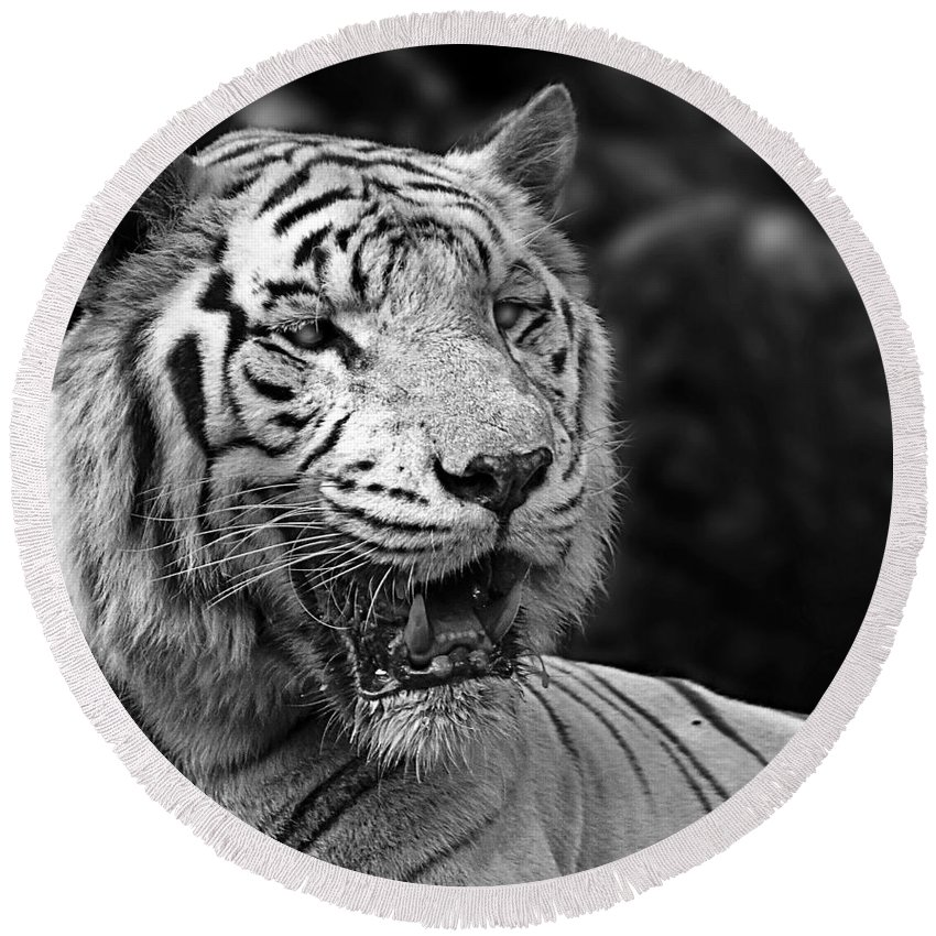 Tiger Round Beach Towel featuring the photograph Big Cats 4 by Ben Yassa