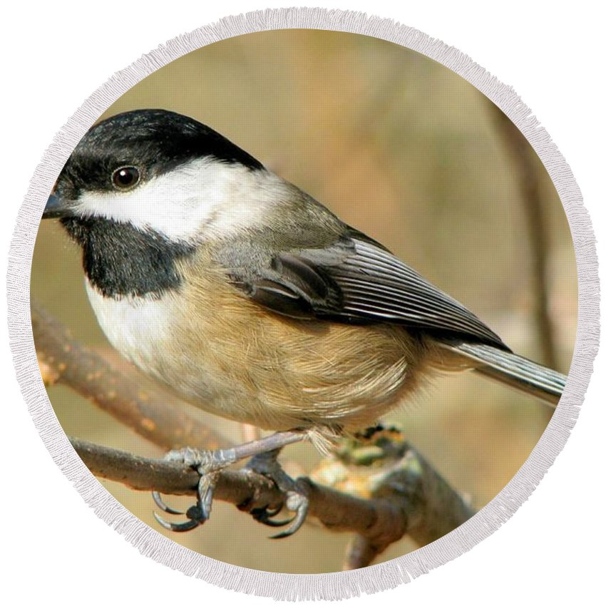 Animal Round Beach Towel featuring the photograph Black-capped Chickadee by Frank Townsley