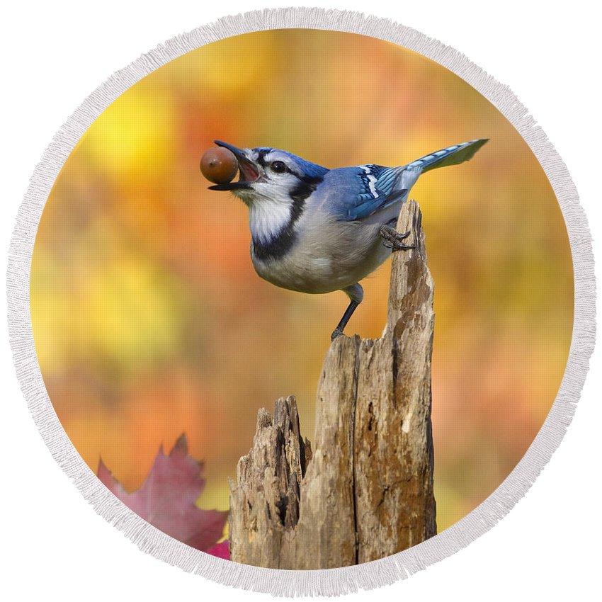 Blue Jay Round Beach Towel featuring the photograph Blue Jay With Acorn by Marie Read