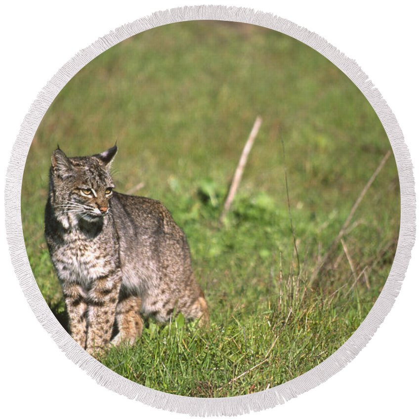 Wildlife Round Beach Towel featuring the photograph Bobcat - Wildcat Beach by Soli Deo Gloria Wilderness And Wildlife Photography