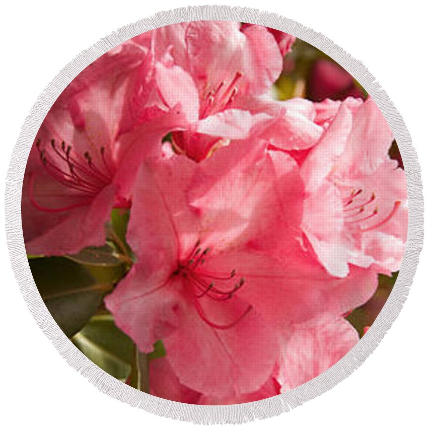 Photography Round Beach Towel featuring the photograph Close-up Of Pink Flowers In Bloom by Panoramic Images