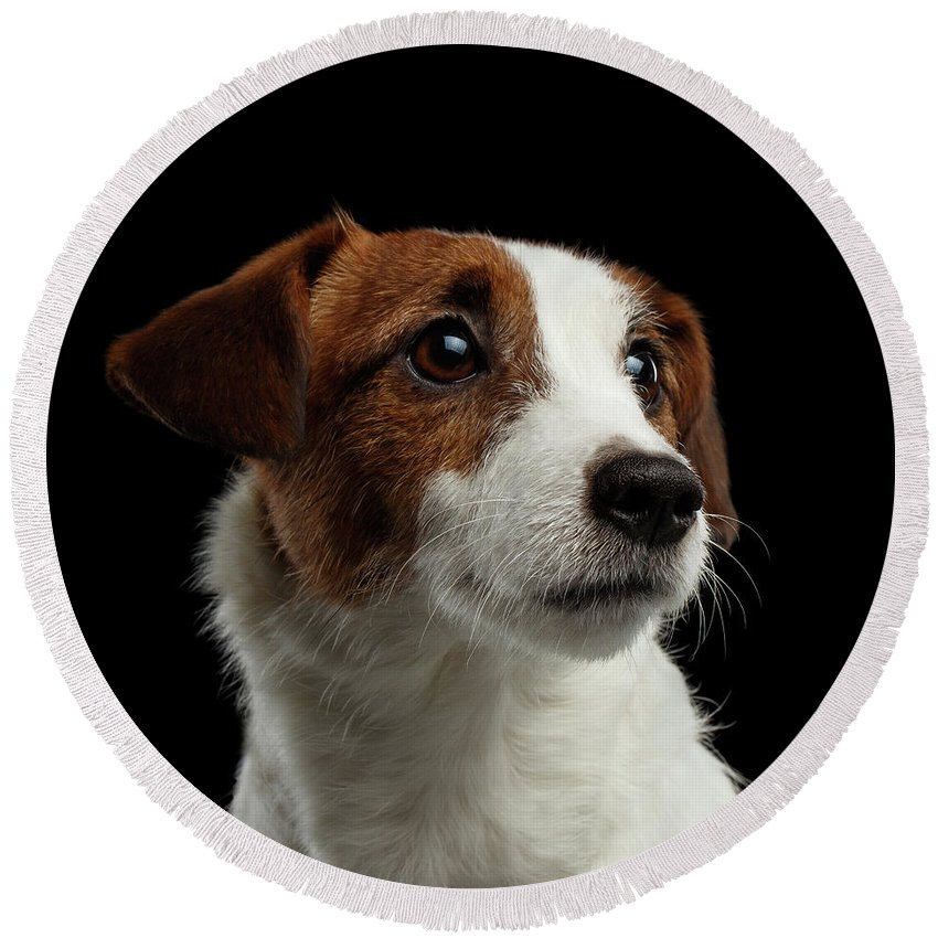 Closeup Round Beach Towel featuring the photograph Closeup Portrait Of Jack Russell Terrier Dog On Black by Sergey Taran