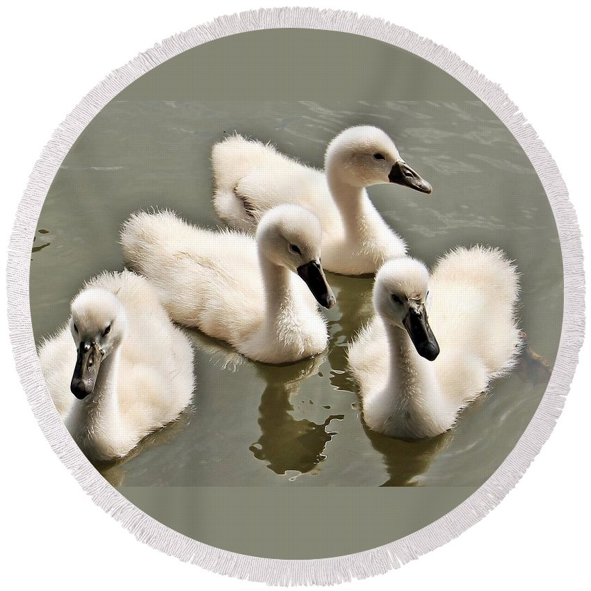 Swan Round Beach Towel featuring the photograph Cygnets by FL collection