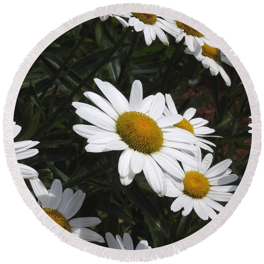 Ann Keisling Round Beach Towel featuring the photograph Daisy Day by Ann Keisling