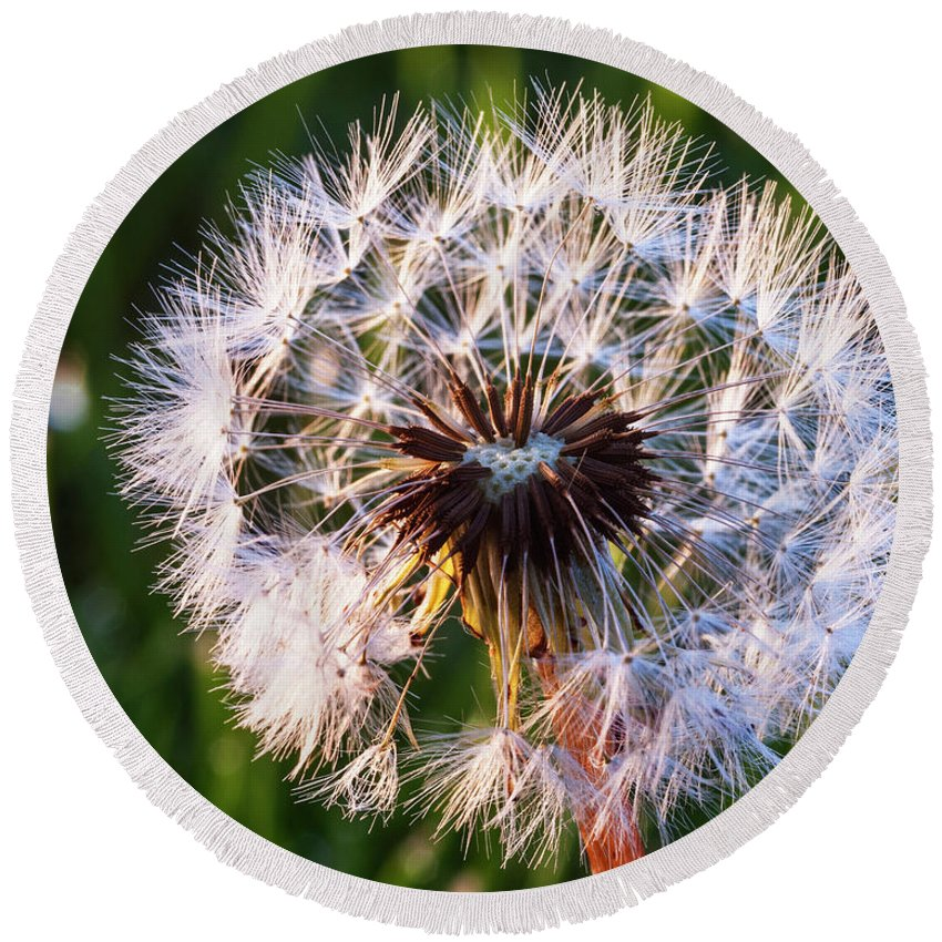 Dandelion Round Beach Towel featuring the photograph Dandelion In Nature by Vishwanath Bhat