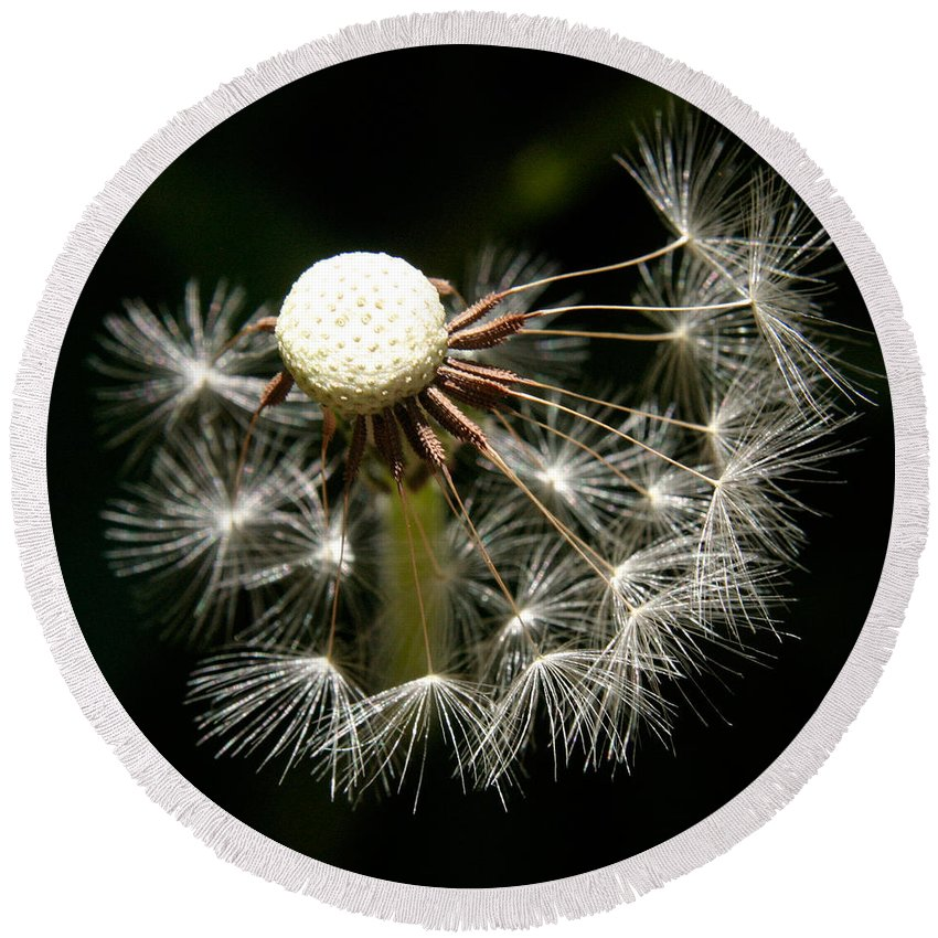 Dandelion Round Beach Towel featuring the photograph Dandelion by Ralph A Ledergerber-Photography