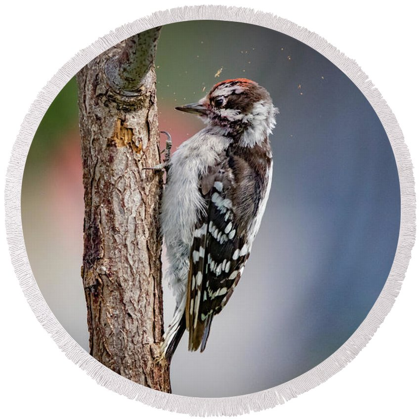 Picoides Pubescens Round Beach Towel featuring the photograph Downy Woodpecker by Ray Congrove