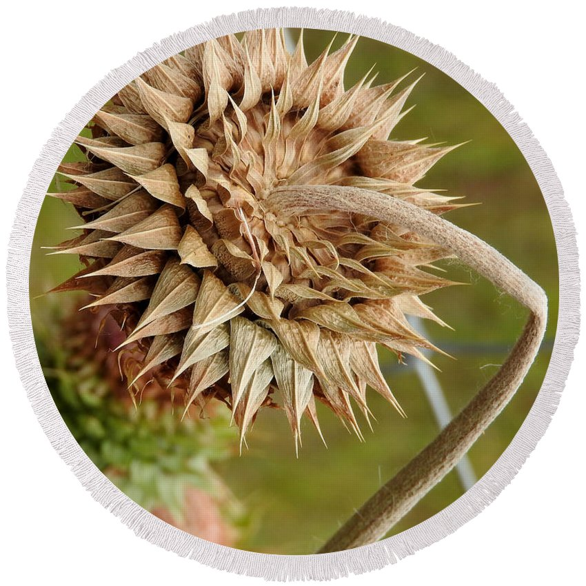 Ann Keisling Round Beach Towel featuring the photograph Dried Up Thistle by Ann Keisling