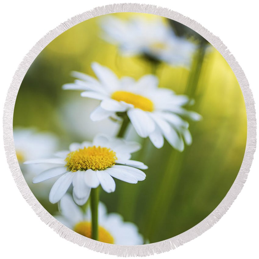 Daisy Round Beach Towel featuring the photograph Elegant White Daisies by Vishwanath Bhat