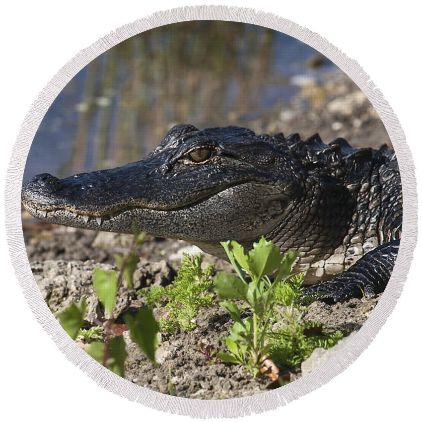 American Alligator Round Beach Towel featuring the photograph Gator Smile by Sally Weigand