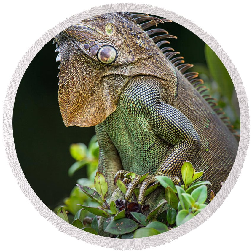 Photography Round Beach Towel featuring the photograph Green Iguana Iguana Iguana, Sarapiqui by Panoramic Images